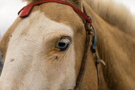 An eye of a horse in Mongolia.