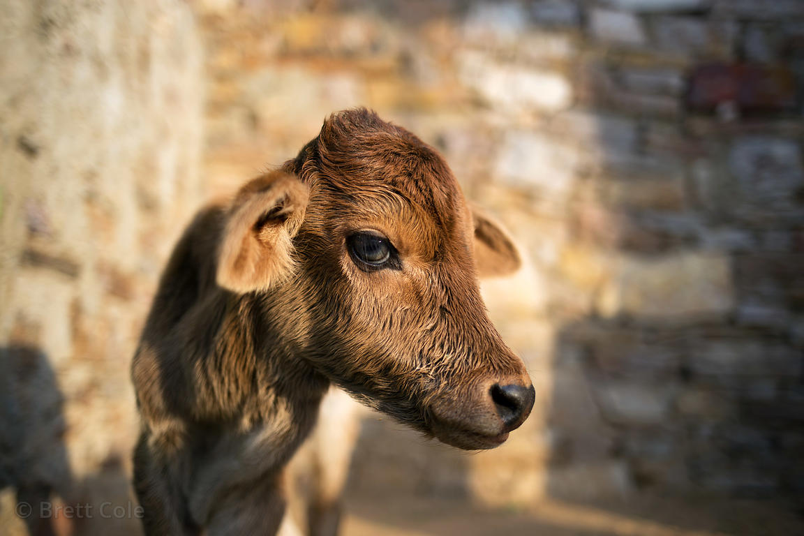 Beautiful brown calf at the Tree of Life for Animals rescue center (tolfa.org.uk) near Pushkar, Rajasthan, India