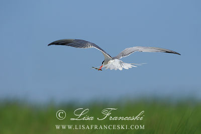 Adult Common Tern