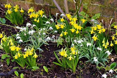 Small daffodils and snowdrops at Hodsock Priory, Blyth, Notts