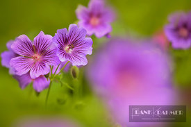 Geranium (geranium x magnificum)  - Europe, Germany, Bavaria, Upper Bavaria, Munich - digital