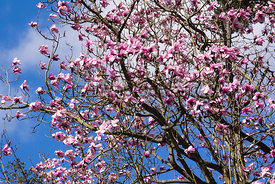 Magnolia trees in blossom at Howick Hall Gardens in Northumberland