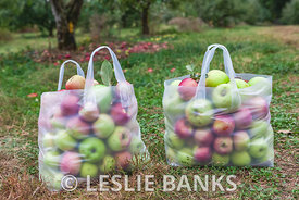 Bags of Apples in Orchard