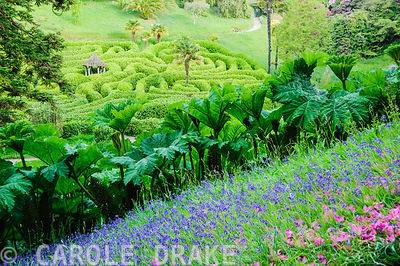 Grassy meadow full of bluebells and fallen rhododendron petals frames a view of the laurel maze above a stand of Gunnera mani...
