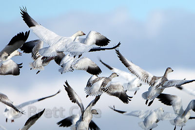Snow Geese (Chen caerulescens) lifting off over the wetlands of the Lower Klamath NWR, California
