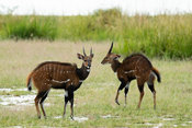 Agressive interaction between male bushbucks, Tragelaphus scriptus, Murchison Falls National Park, Uganda