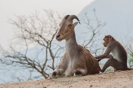 Nilgiri Tahr (Mountain Goat) and Macaque, Aalliyar Reserve Forest, Attakatti, Tamil Nadu, INDIA