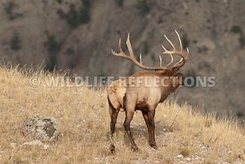 elk_bugling_across_the_mountains