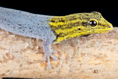 Yellow-headed day gecko (Lygodactylus luteopicturatus)