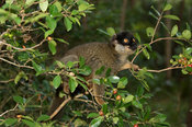 Common brown lemur, Eulemur fulvus, eating fruits from the Chinese guava, Vakona Forest Reserve, Andasibe Mantadia National P...