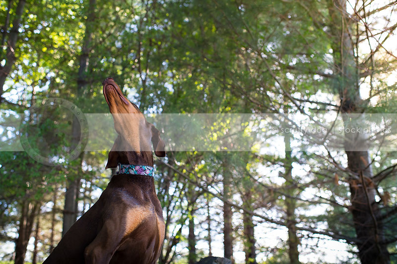 headshot of brown and tan doberman dog looking skyward in trees