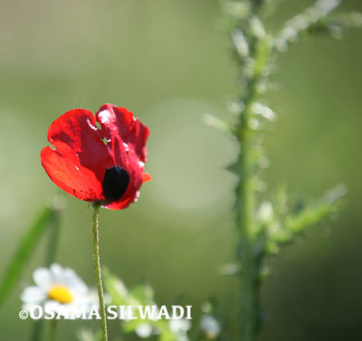 The Wildflowers of Palestine - Papaver Rhoeas