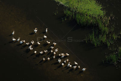 Eastern white pelicans (Pelecanus onocrotalus), aerial view of flock standing in shallow water within the Danube delta rewild...
