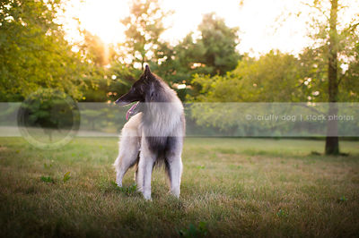 handsome dog looking away standing in park  with sunflare trees