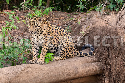 jaguar_on_log_full09071313