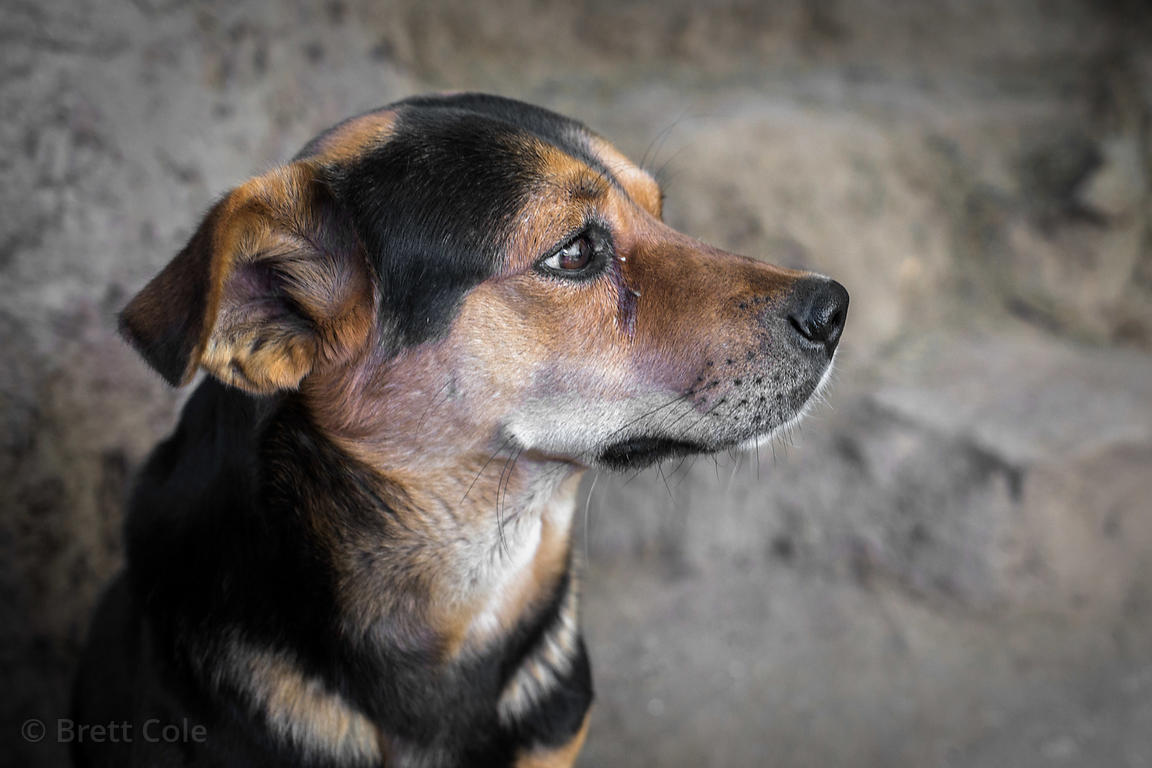 Portrait of a street dog in Manali, India