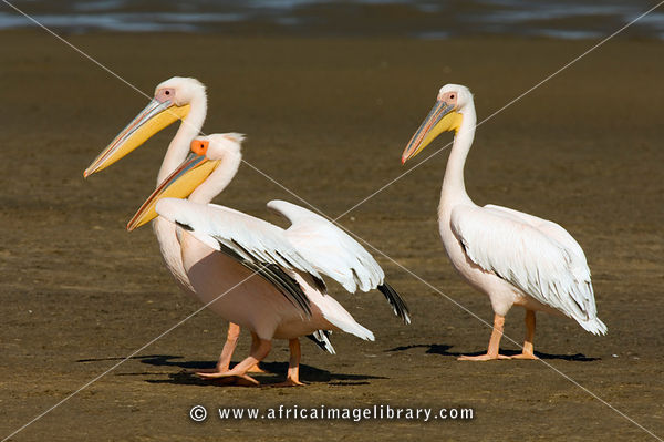 Great white pelicans (Pelecanus onocrotalus), Walvis Bay, Namibia