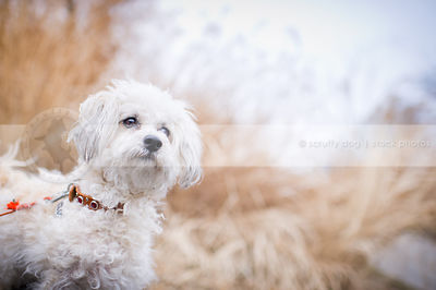 portrait of alert little white bichon frise cross dog in natural setting