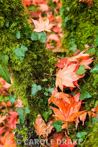 Mossy trunk of acer catching its own leaves as they fall. Minterne, Minterne Magna, Dorchester, Dorset, UK