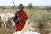 Karamojong man bringing cows to the village, northern Uganda
