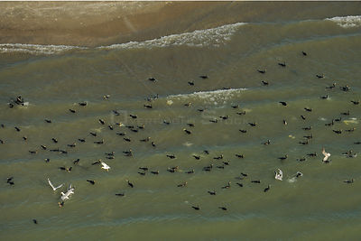 Aerial view of Gulls and cormorants in shallow waters of Danube Delta, Danube delta rewilding area, Black Sea coast, Romania,...