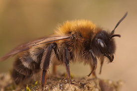 Andrena apicata, female