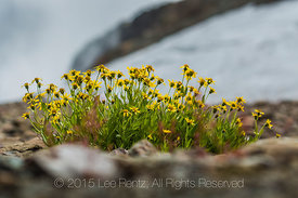 Hairy Arnica, Arnica mollis, near 14-Goat Lake off the Ptarmigan Ridge Trail