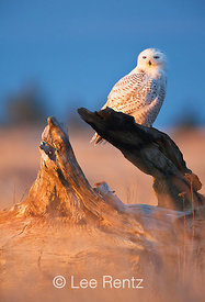 SNOWY OWL AND SETTING SUN