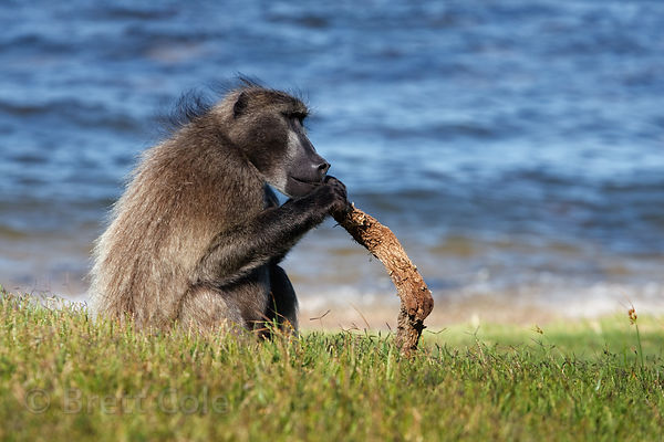 The alpha male chacma baboon from the Buffels Bay troop (named Elvis) sits on the beach at Buffels Bay, Cape Peninsula, South...