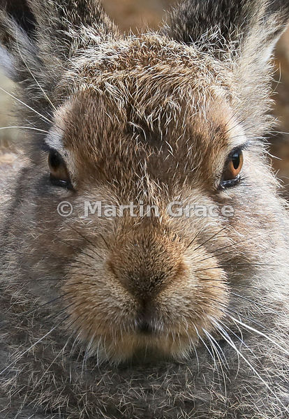 Mountain (Arctic) Hare