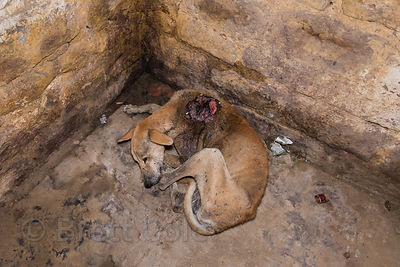 An injured street dog with a large maggot wound on its shoulder, Varanasi, India. I had a rescue center come get the dog but ...