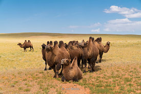 Bactrian camels in the south Gobi desert in southern Mongolia.