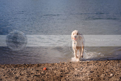 soaking wet doodle dog playing with balls on lake shore beach