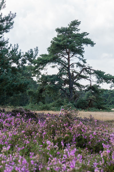Pine tree and flowering heather