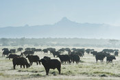 Buffalo (Syncerus caffer caffer) in front of Mount Kenya, Solio Game Ranch, Laikipia, Kenya