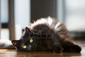 BLack Longhaired Cat Lying on Side and Looking Toward Camera