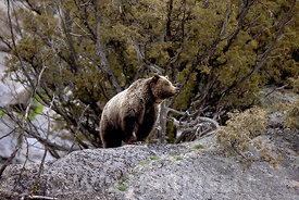 Yellowstone_GrizzlyII_FinWH