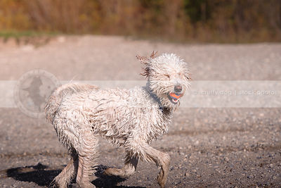 funny blinking wet dog with ball running on beach