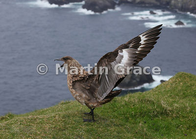 Great Skua (Bonxie) (Stercorarius skua, Catharacta skua) calling as it displays with wings fully outstretched, Hermaness Nati...