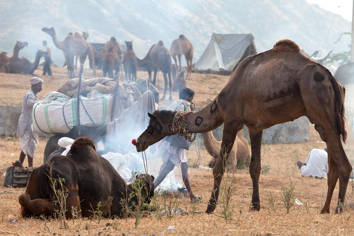 Typical scene at the Pushkar camel fair, Rajasthan, India