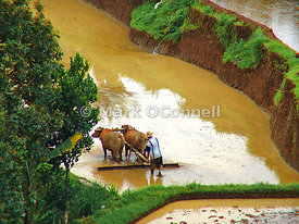 Working the rice fields Bali 03