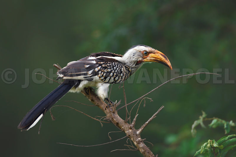 Southern Yellowbilled Hornbill perched on a branch