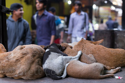 A family of street dogs sleep on a ledge in an alley full of sweets shops, Pushkar, Rajasthan, India