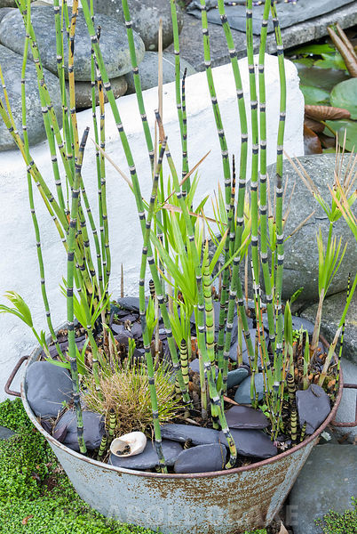 Metal bucket of horsetail, Equisetum hyemale. 24 Bude Street, Appledore, Devon, UK