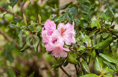 Rhododendron 'Vinelana Fragrance', rose