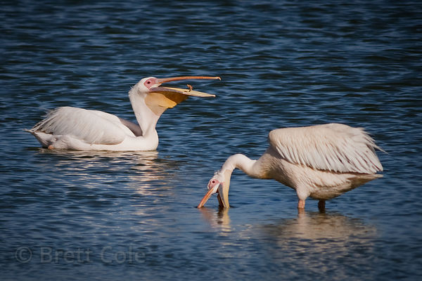 Great white pelicans (Pelecanus onocrotalus), Strandfontein, South Africa