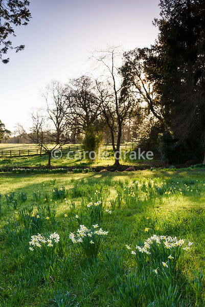 Daffodils in the grass at Forde Abbey in April
