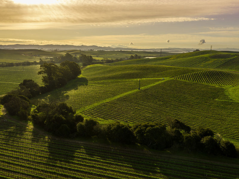 Aerial view of green vineyard fields with tree lines