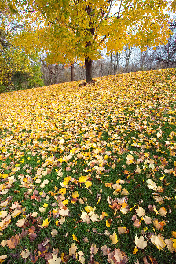 Fall leaves in a park near Westchester, Pennsylvania