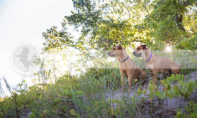 two cross breed dogs sitting in sand and vegetation with sunflare